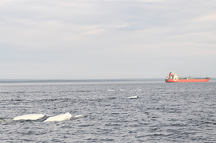Belugas swimming near a commercial vessel.