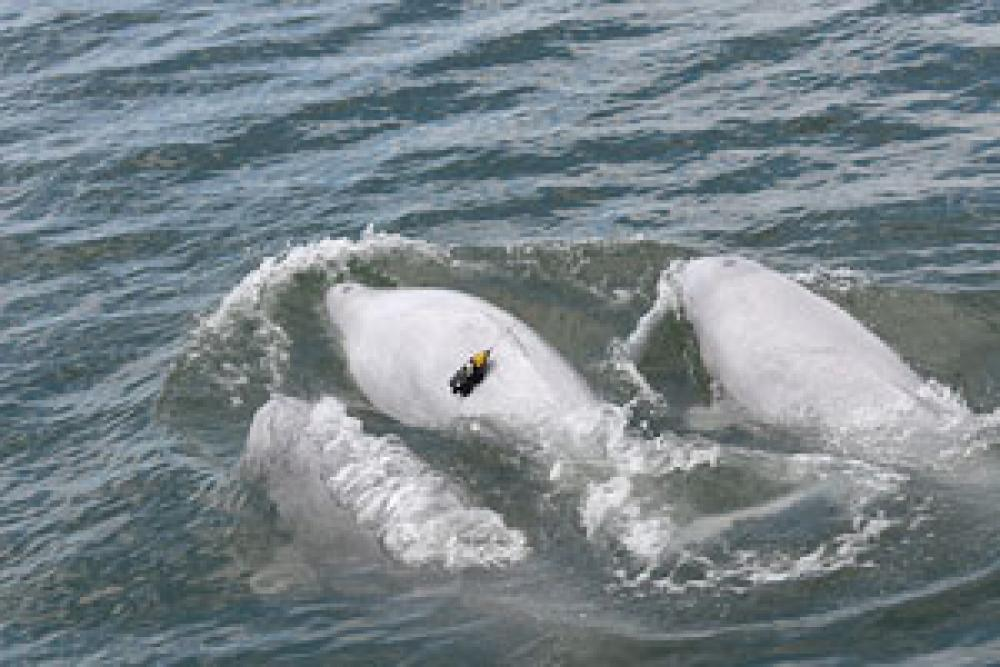Acoustic tags attached to belugas with suction cups, combined with drifting sonobuoys, help to better understand the animals' reactions to noise exposure.